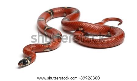 Sinaloan milk snake, Lampropeltis triangulum sinaloae, in front of white background - stock photo