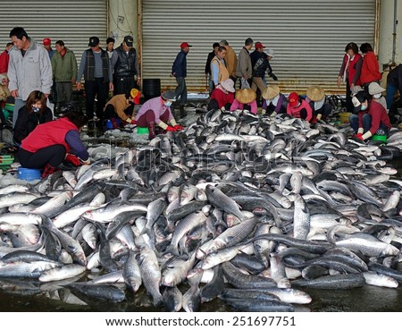 SINDA PORT, TAIWAN -- DECEMBER 14, 2014: Workers extract mullet roes from freshly caught gray mullet fish. The roe will be pressed and salted and sold as a highly priced delicacy. - stock photo