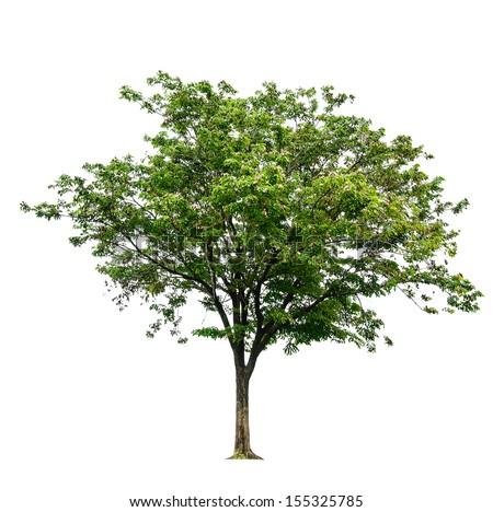 Sindora siamensis tree on isolate white background - stock photo