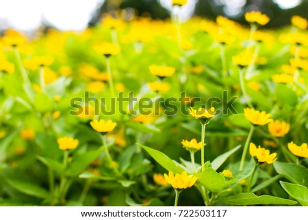 Singapore daisy cute flower group yellow stock photo royalty free singapore daisy is cute flower group of yellow flowers with green leaves are natural background mightylinksfo