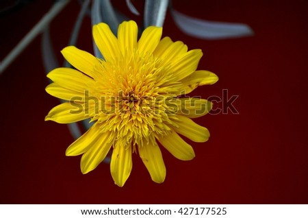 Singapore - May 26, 2016: A macro of a yellow flower in full bloom with all petals open. - stock photo