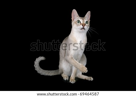 Singapura cat - stock photo