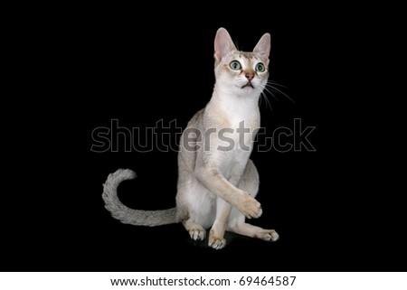 Singapura cat - stock photo