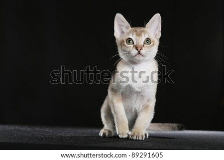 Singapura kitten - stock photo