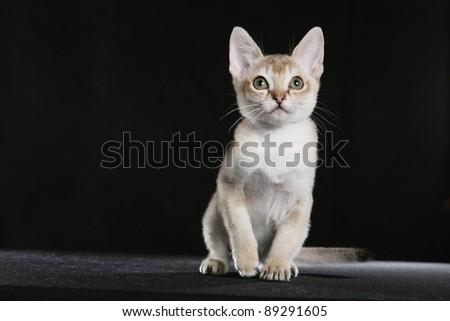 Singapura kitten - stock photo