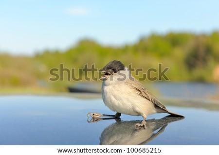 Singing bird - stock photo