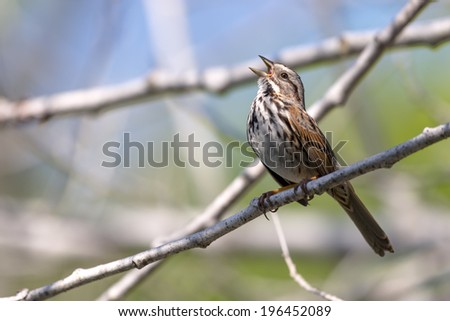 Singing song sparrow perched on a branch. - stock photo