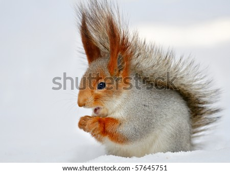 Singing the red squirrel in the snow. - stock photo