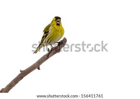 Singing yellow bird (siskin) with open beak isolated on white background - stock photo