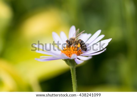 single active honey bee collecting nectar and pollen from purple daisy flower  - stock photo