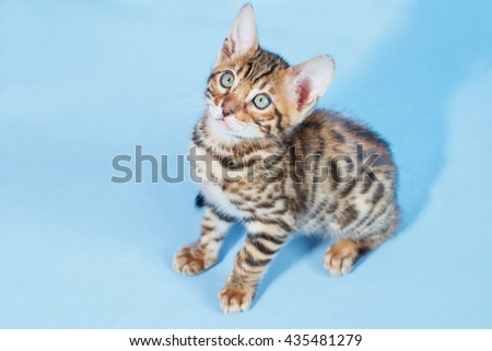 Single adorable brown spotted bengal kitten sitting on neutral blue background - stock photo