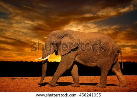 Single African elephant with tusk (Loxodonta africana), running in late afternoon in Addo Elephant National Park, South Africa - stock photo