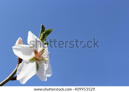 single almond blossom against the sky. concept of seasonal pollination, delicious, gardening photography, fresh flora, environment, yard, farmland, rural, sunshine place for text, aroma - stock photo