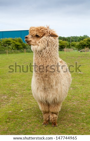 Single alpaca farmed for its thick fleece which makes a fine wool. - stock photo