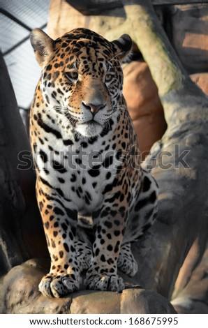 single amur leopard in Minsk zoo - stock photo