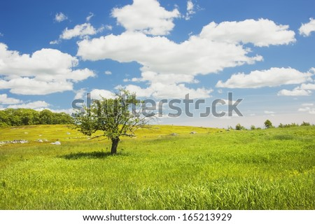 Single apple tree in Maine blueberry field. - stock photo