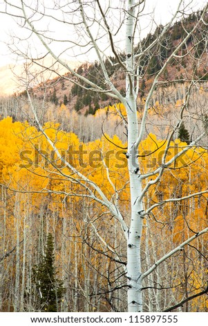 Single Aspen Tree with Yellow in the Background - stock photo