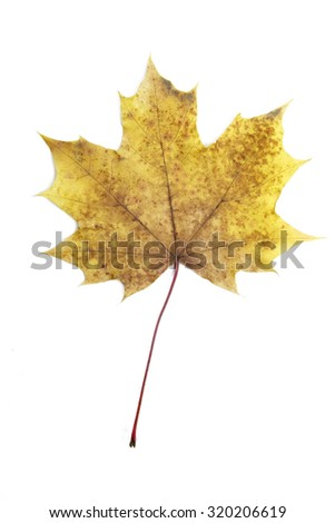 Single autumn leaf, isolated - stock photo