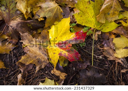 single autumn maple leave at the forest soil