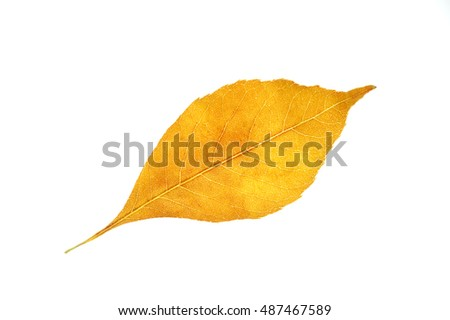 single autumn yellow leaf isolated on white background
