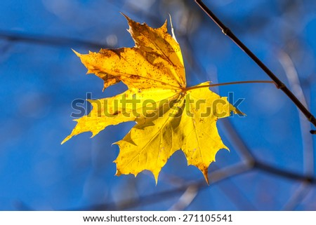 Single autumn yellow maple leaves - tree details - stock photo
