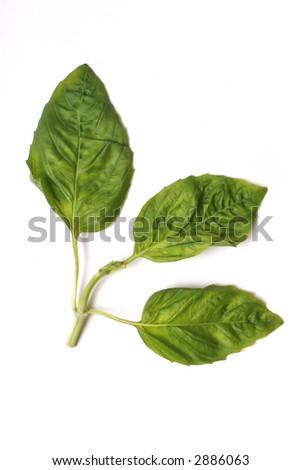 Single Basil Sprig Isolated on White - stock photo
