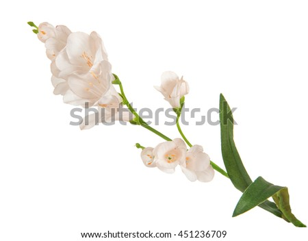 single beautiful branch flowering-plant with white flower, on white background, isolated - stock photo