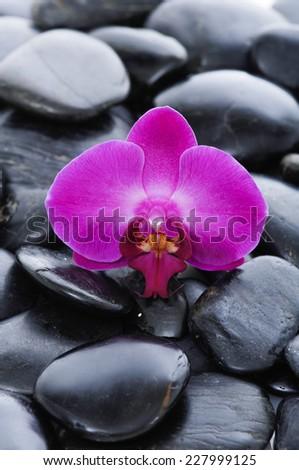 Single beautiful orchid on black pebbles - stock photo