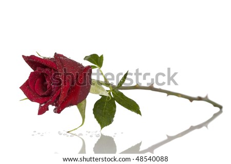 Single beautiful red rose isolated on white - stock photo