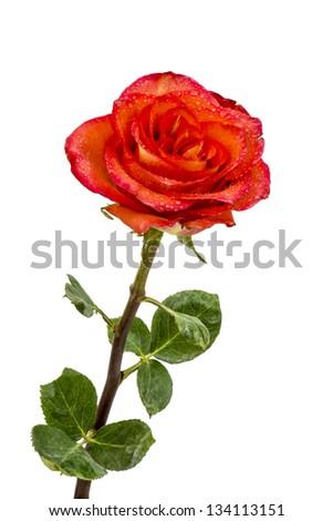 Single beautiful red rose isolated on white background - stock photo