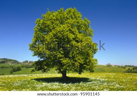 single beech tree at springtime - stock photo