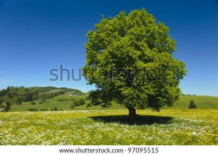 single beech tree in meadow at spring - stock photo