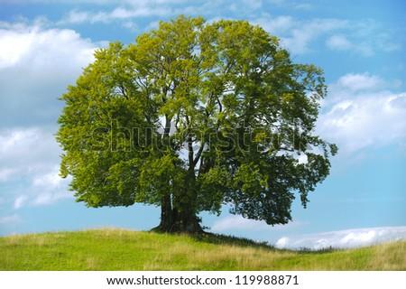 single beech tree in summer - stock photo