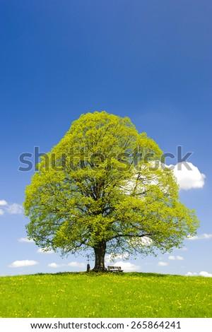 single big linden tree at spring in Bavaria, Germany - stock photo