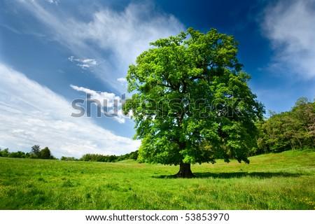 Single big oak tree in a meadow near the forest - stock photo