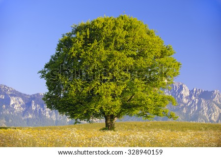 single big old beech tree at spring - stock photo