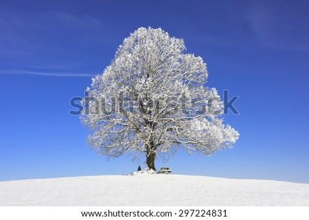 single big old linden tree at winter - stock photo