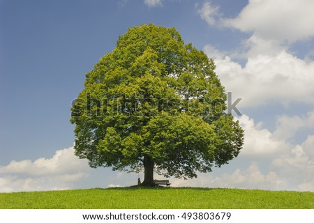 single big old linden tree in meadow