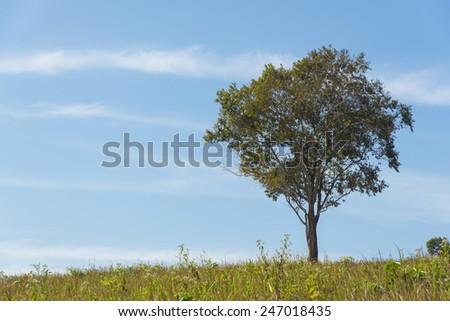 Single big tree on a meadow, with blue sky - stock photo