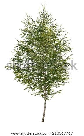 single birch tree isolated  - stock photo