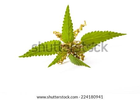 single blooming stinging nettle plant on white background, isolated, close up,  - stock photo