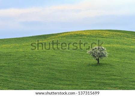 Single blooming tree in springtime meadow - stock photo