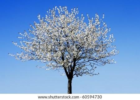 Single blossoming tree - stock photo