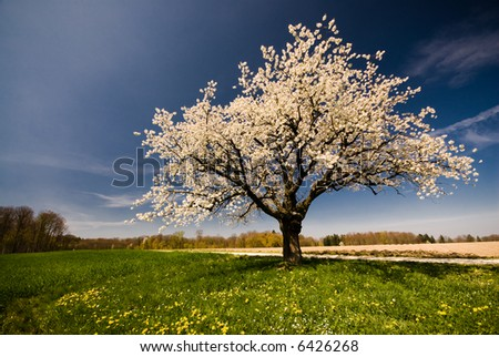 Single blossoming tree in spring. - stock photo