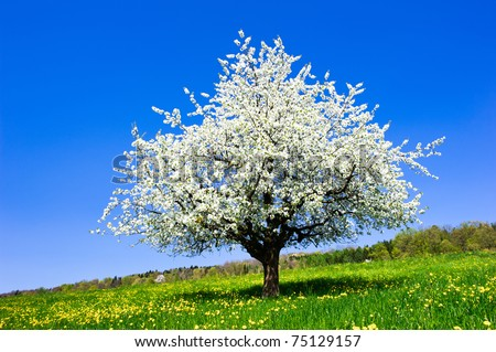 Single blossoming tree in spring on rural meadow - stock photo