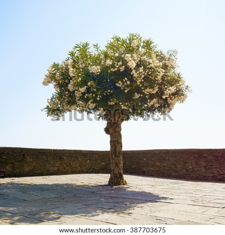 Single blossoming tree in the stone city square