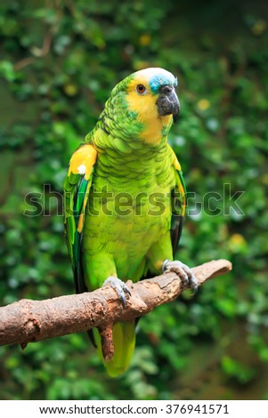 Single Blue-Fronted Amazon Parrot (Amazona aestiva) sitting on a tree branch - stock photo