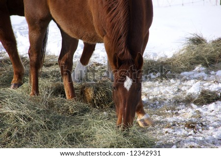 Single brown horse grazing in winter pasture,		near Baggs,	Wyoming, Rocky Mountain west