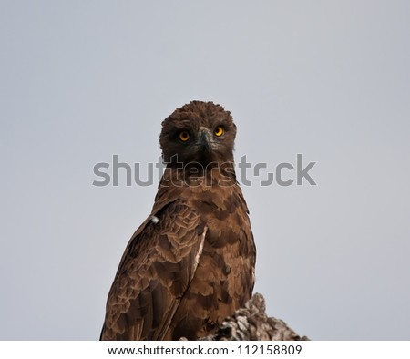 Single brown snake eagle staring straight at you - stock photo