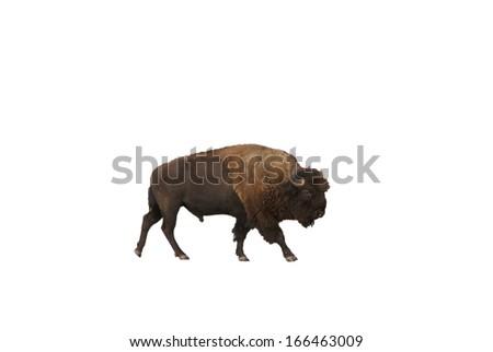 Single bull bison isolated on white  Grand Teton National Park,Wyoming  - stock photo